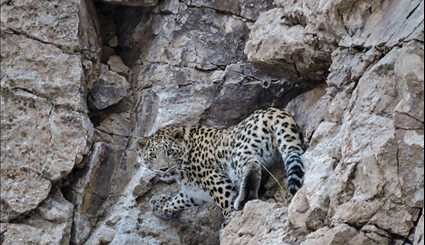 Two leopards spotted at Parvar Protected Area