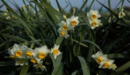 Narcissus farms in Mazandaran