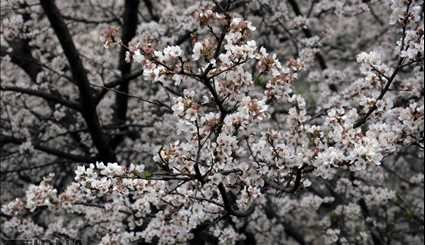 Spring Blossoms in Gilan Province