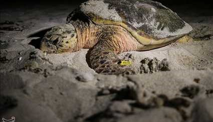 Hawksbill Sea Turtles on Iran's Kish Island