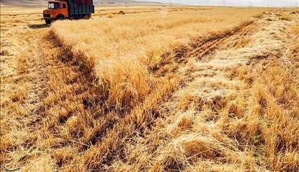 Wheat harvesting in Kermanshah / Images