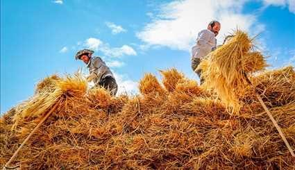 Harvesting wheat from Ahar County Farms