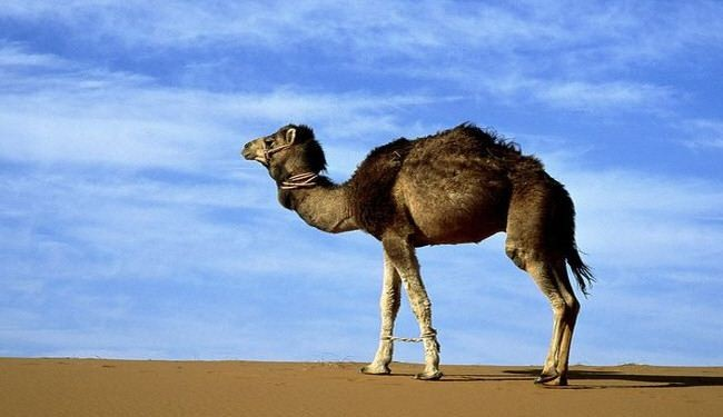 Qatar reported 3 camels infected by SARS-like virus