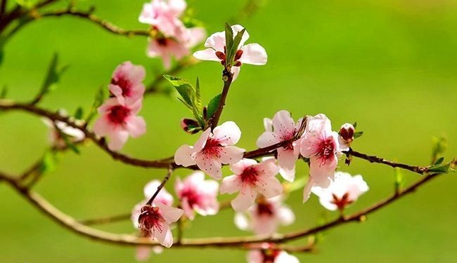 In picture: Beautiful blossoms mark spring arrival