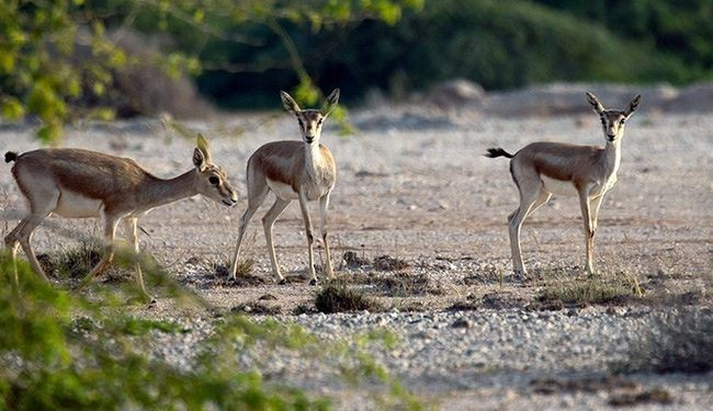 In picture: Goitered gazelles in Iran's Kish Island