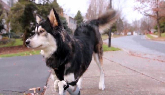3D-Printed Legs Make Disabled Dog Learn Joy of Running