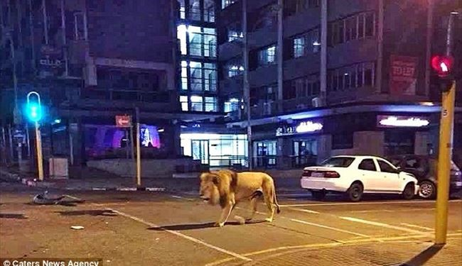 PICS: Giant Lion in the Streets of South Africa's Biggest City Johannesburg