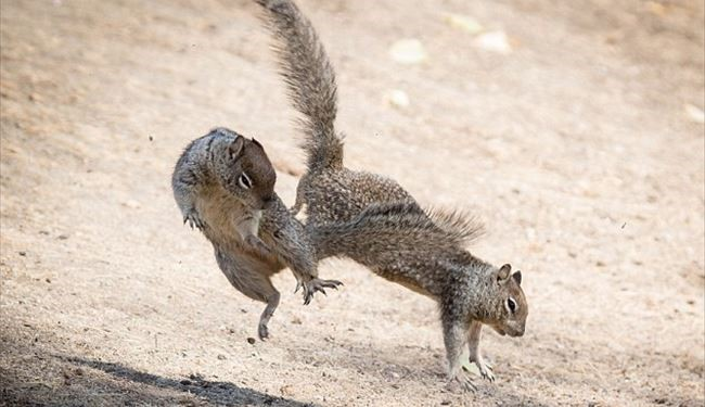 Incredible Pics Show Bruce Lee Kung Fu Style Fight among 2 Squirrels for Nuts