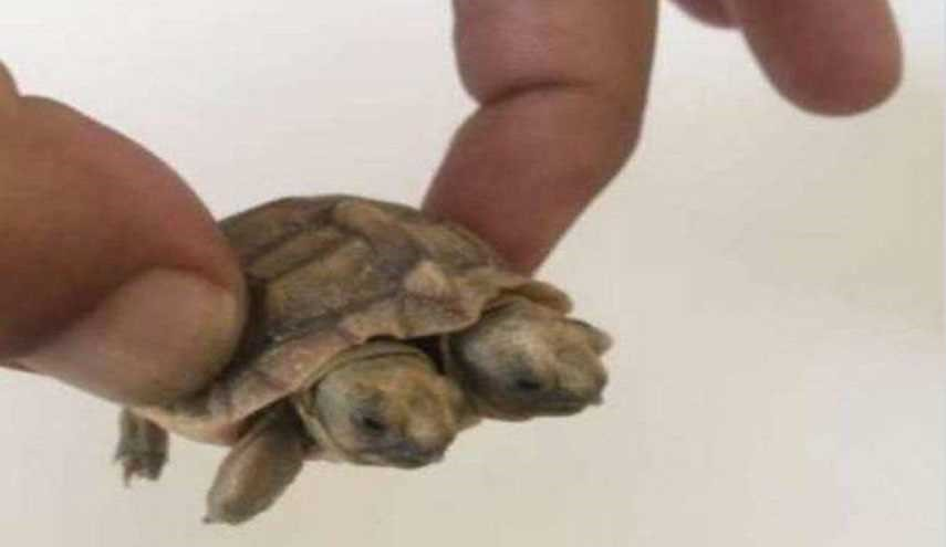 Nature's Wonders: Two-Headed Turtle Born in Iran