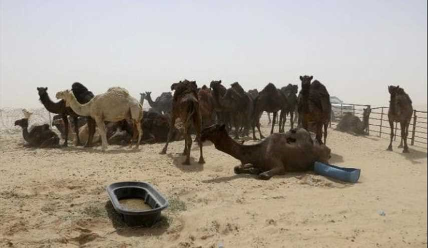 Row of Dead Camels: 100s of Abandoned Camels Die in Saudi Arabia's Diplomatic Row with Qatar