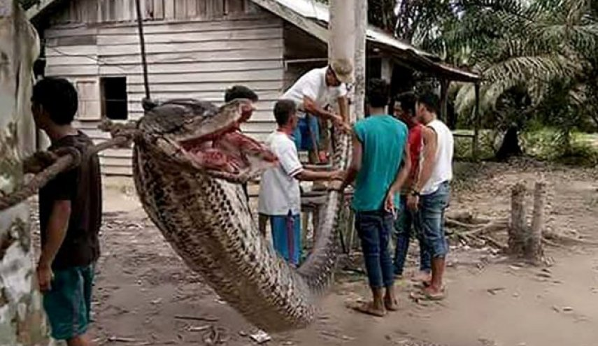 Giant python: Indonesians eat huge snake after man defeats reptile