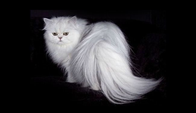 Iran to send Persian cat to space