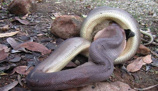 Python Swallowing a Wallaby at a National Park