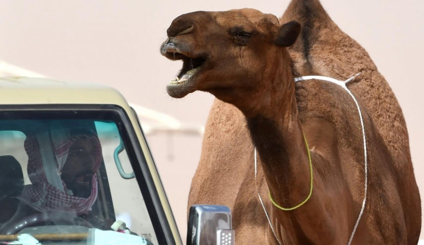 Botox disqualifies 12 camels from Saudi Arabian beauty contest